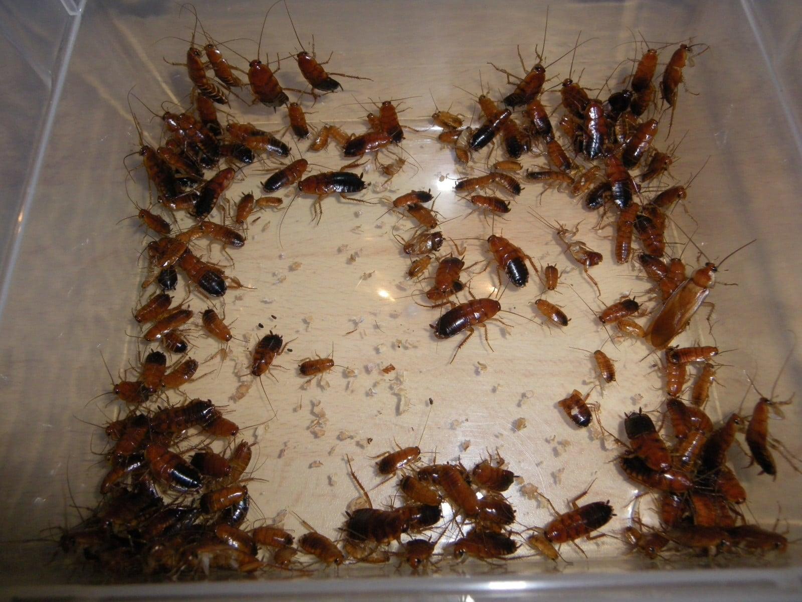 Blatte De Cuisine Photo intervention dans un college infeste de blattes - deraking