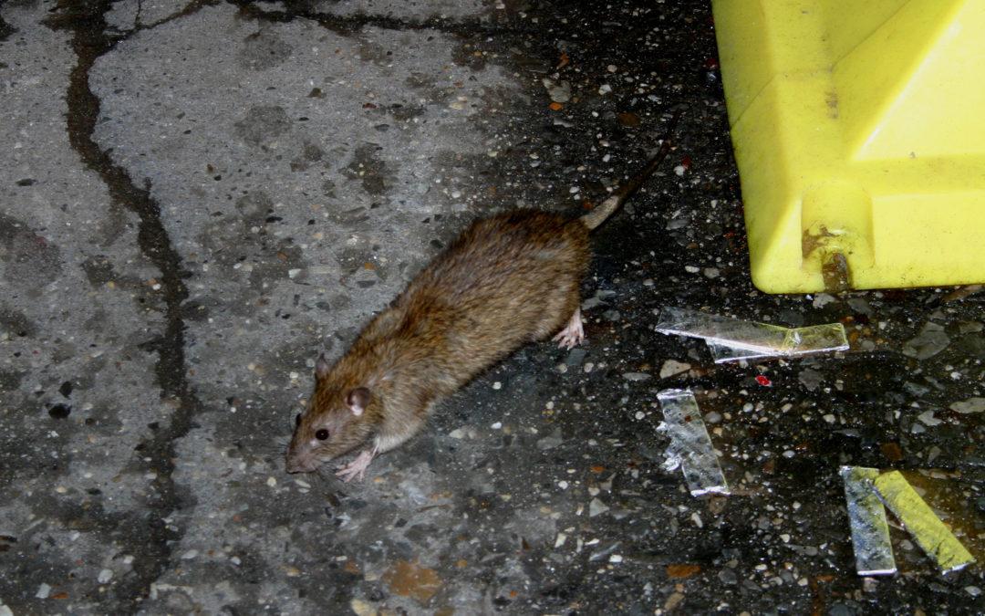 RATS NOIRS DANS UNE PROPRIETE VITICOLE