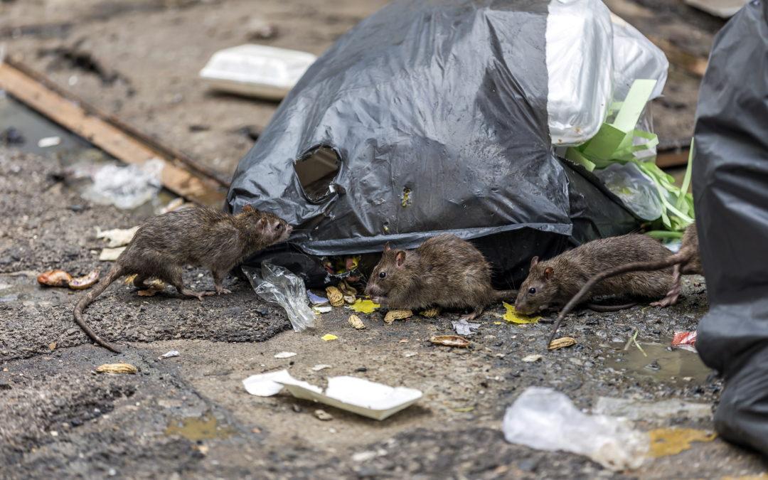INFESTATION DE RATS DANS BORDEAUX