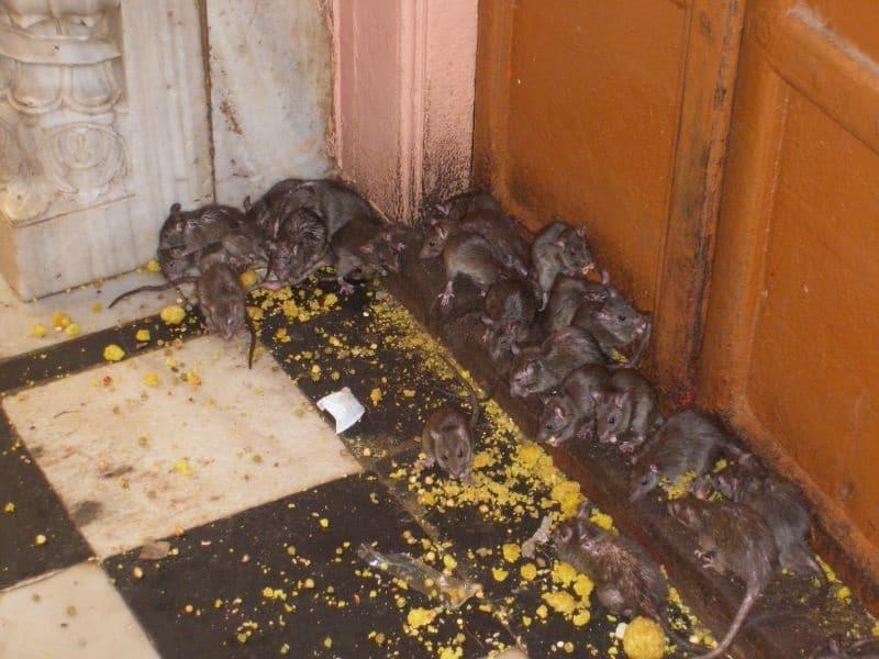 INVASION DE RATS DANS LES GROSSES METROPOLES